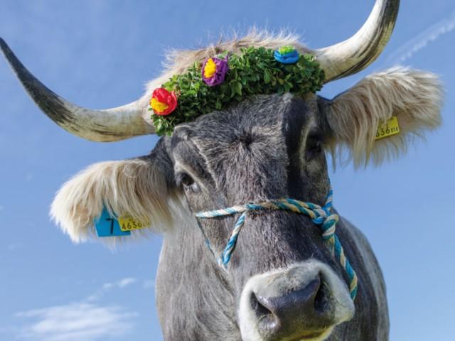 Kuh mit Fuikln